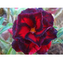 Adenium Obesum 300 Sementes Raras 30 Cores Rosa Do Deserto