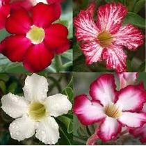 Rosa Do Deserto Kit Flores ( 9 Cores - 18 Sementes) Adenium