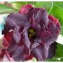 Rosa Do Deserto Kit Extra ( 120 Sementes) Adenium Raras
