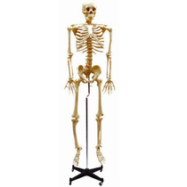 7014 - Esqueleto Humano - Pedagógico Ciências