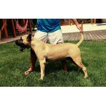 Dogo Canario - Presa Canario