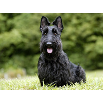 Scottish Terrier Com Pedigree Excelente Cobertura Macho Novo