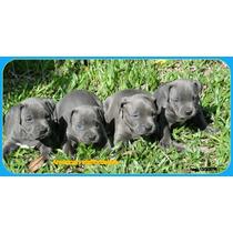 Filhotes American Staffordshire Blue