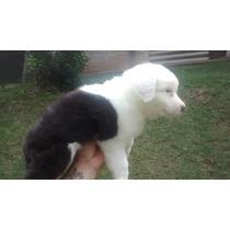Filhotes De Sheepdog ( Machos )
