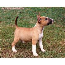 Filhote Bull Terrier Fêmea