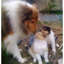 Lindos Filhotes De Collie, Só Com A Pet Store