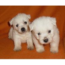 Filhotes West Highland W. Terrier- Feminhas -canil Moonspark