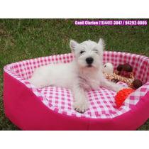 West Highland White Terrier - Filhote Fêmea Pronta Entrega