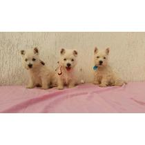 Filhote West Terrier Fêmea Com Pedigree Disponivel P/entrega