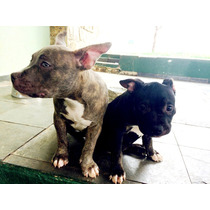 Filhotes American Bully, 3 Machos. 1 Tigrado E 2 Pretos.