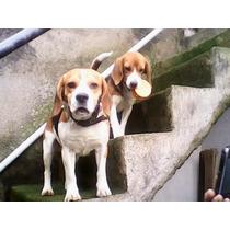 Filhotes Da Raça Beagle
