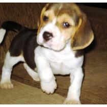 Filhotes De Beagle (venda Permanente)