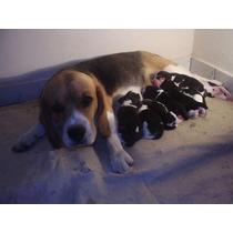 Vendo Filhotes De Beagle Tricolor 13 Polegadas Com Pedigreee