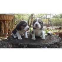 Filhotes Beagle Com Pedigree Canil Com + De 30 Anos