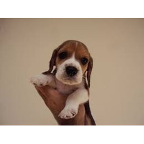 Beagle, Filhotes De Cães Já Vacinados, Machos E Fêmeas