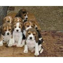Beagle Filhotes Lindos E Puros