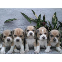 Beagle Bicolor E Tricolor .. Machinhos ..excelente Linhagem
