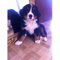 Lindo Filhote De Bernese Mountain Dog