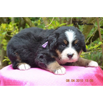 Lindos Filhotes De Bernese Montain Dog