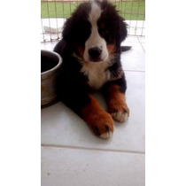 Filhote De Bernese Montain Dog