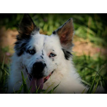 Border Collie Padreador Com Pedigree Cbkc