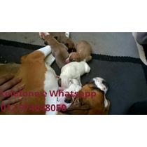 Filhotes Boxer Femeas E Machos