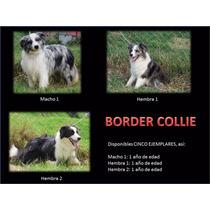 Border Collie Con Pedigri, Lineas De Belleza !!!