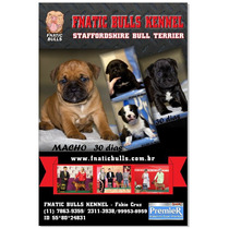 Filhotes De Staffordshire Bull Terrier Fnatic Bulls