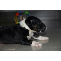 Filhote Bull Terrier Macho 1500,00