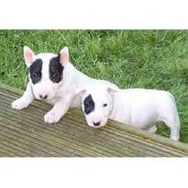 Bull Terrier Filhotes Lindos E Adoraveis