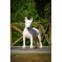 Filhote Bull Terrier Canil Bullffaras