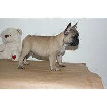 Macho Bulldog Francês Fulvo