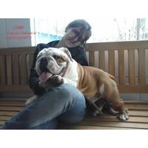 Filhotes De Bulldog Inglês À Pronta Entrega!!!