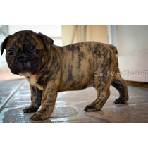 Filhote De Bulldog Francês Macho Tigrado Com Uma Cor Linda.