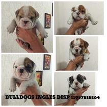 Filhote Bulldog Ingles