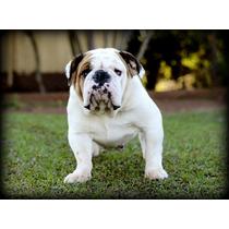 Matriz Bulldog Inglês