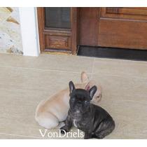 Filhotes De Bulldog Francês Top