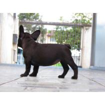 Bulldog Francês Fêmea Tigrada Pedigree Cbkc Linda Curtinha