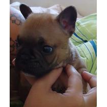 Filhote Macho De Bulldog Francês Fulvo Blue Gene