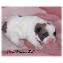 Bulldog Frances Fêmea, Excelente Filhote, Pedigree Cbkc...