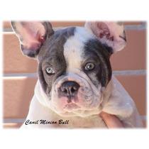 Bulldog Frances Macho Blue Pied Excelente Filhote
