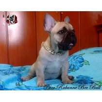 Filhotes De Bulldog Francês Padrão Show