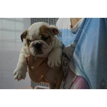 Linda Filhota Bulldog Inglês Fêmea Linhagem Show Pedigree!!