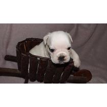Bulldog Inglês Macho Com Pedigree Da Cbkc