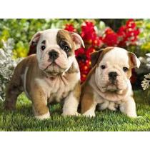 Filhotes De Bulldog Inglês Lindos!!