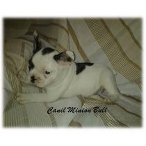 Bulldog Frances Femea Linda