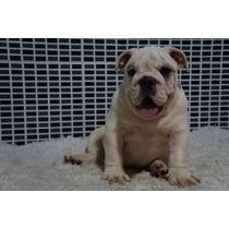 Bulldog Inglês Filhote Macho Pedigree Cbkc Com 4 Meses!!