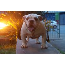 Lindo Filhote Bulldog Inglês Macho P/ Pista Ou Pet Pedigree!