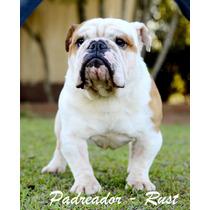 Padreador De Bulldog Inglês Com Pedigree Cbkc