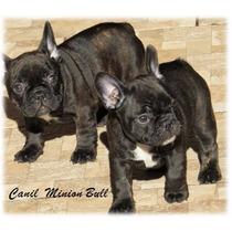 Bulldog Frances Femea, Excelente Estrutura, Pais Importados
